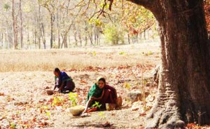 Gujarat tribal women collecting small forest produce