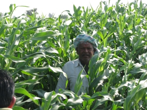 A farmer in the midst of his bajri crop grown in Dholera SIR area
