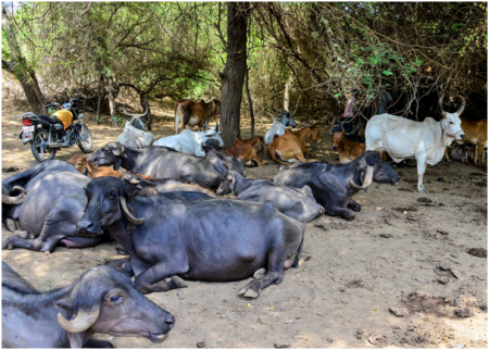 Some of the maldharis' cattle inside the Gir forest