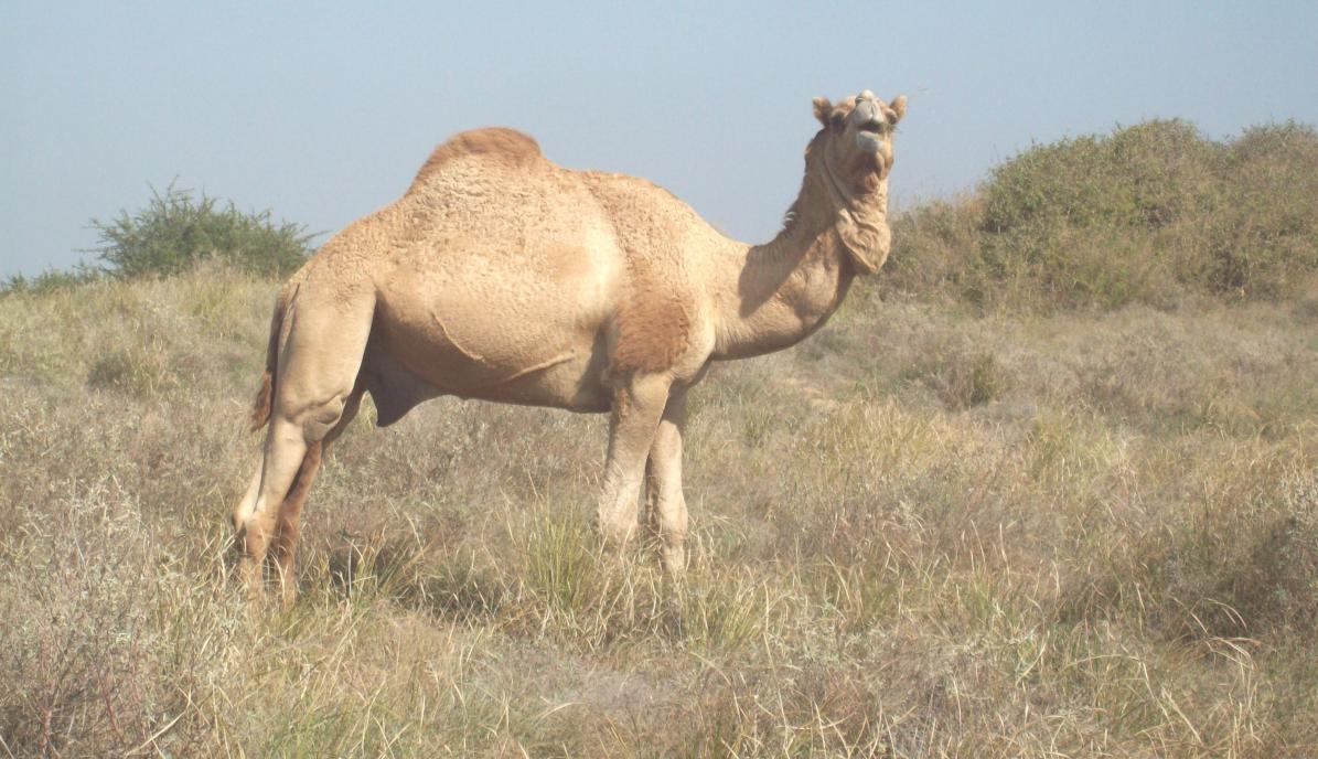 rare kharai camel species found in kutch district is under