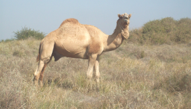 kharai camel