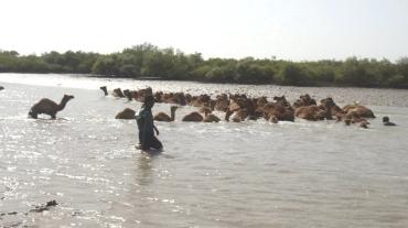kharai camel10