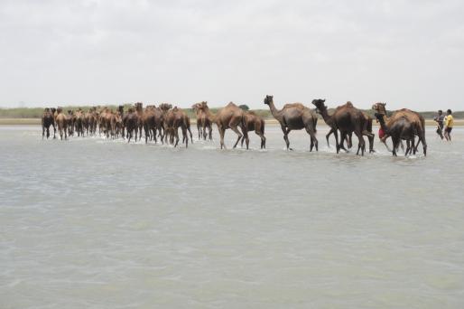kharai camel12