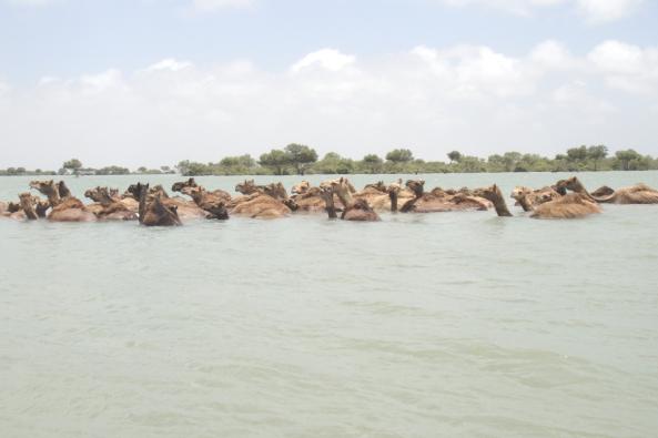 kharai camel5