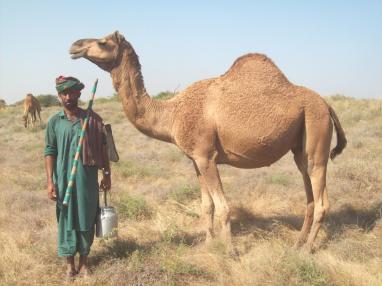 kharai camel6