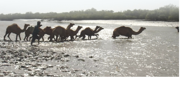 kharai camel8