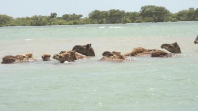 kharai camel9