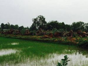 Trees felled for a thermal power project in Raigarh, Chhattisgarh. Pic: Kanchi Kohli