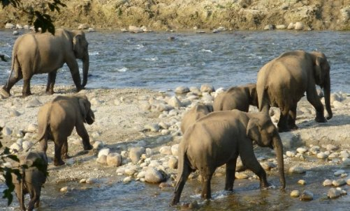 A herd of elephants cross the Ramganga river at Corbett National Park