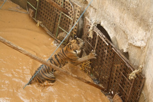 trapped-tiger