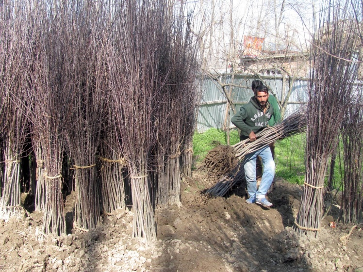 Farmers-in-south-Kashmir-are-converting-paddy-land-into-orchards-Photo-__-Athar-Parvaiz