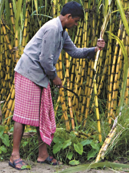 sugarcane5