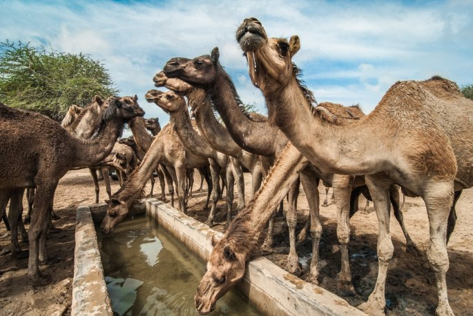 Camels_Who_Swim_02.width-1440