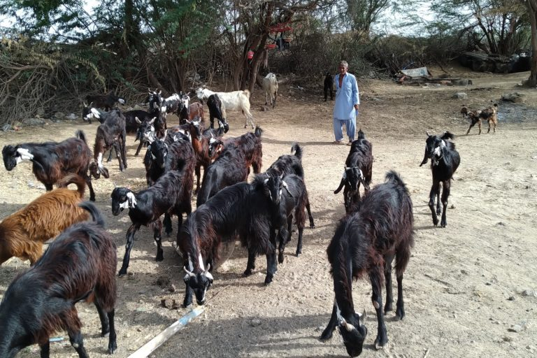 Kutch-pastoralists_Osmanbhai-with-his-goats-1-768x512