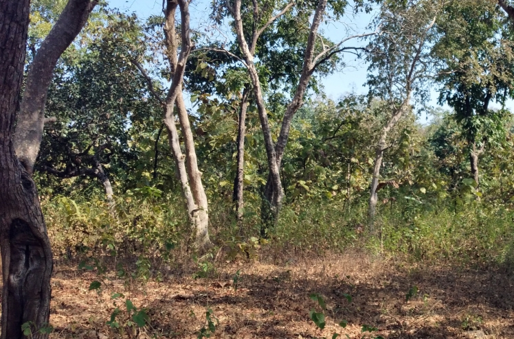 jhabua-sacred-grove-trees-1